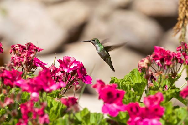 Peru Cuzco Hummingbird Flowers Garden-Devon Howitt 2013-DevonHowitt59 Lg RGB